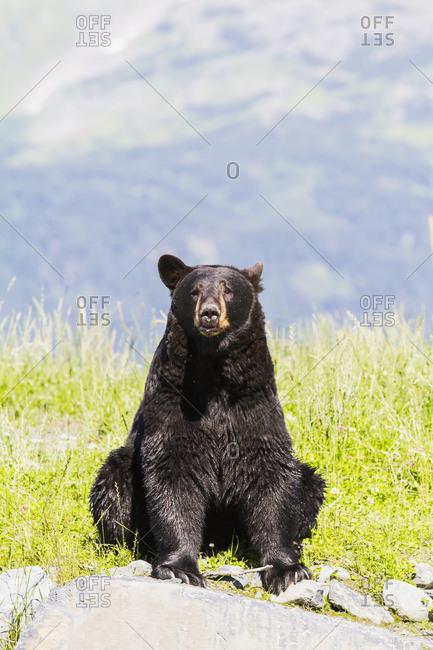 August 25, 2013: Captive Adult Black Bear At The Alaska Wildlife Conservation Center In Portage. South-central Alaska. Summer.