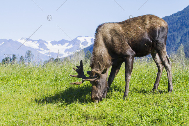 August 25, 2013: Captive Bull Moose Feeding With Mountain Background. Alaska Wildlife Conservation Center In Portage. Summer. South-central Alaska.