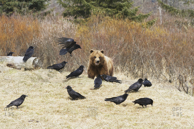 May 22, 2013: Captive Grizzly Bear Eating Meat With A Flock Of Ravens Trying To Steal Some Scraps At The Alaska Wildlife Conservation Center In Portage, Alaska. South-central Alaska.