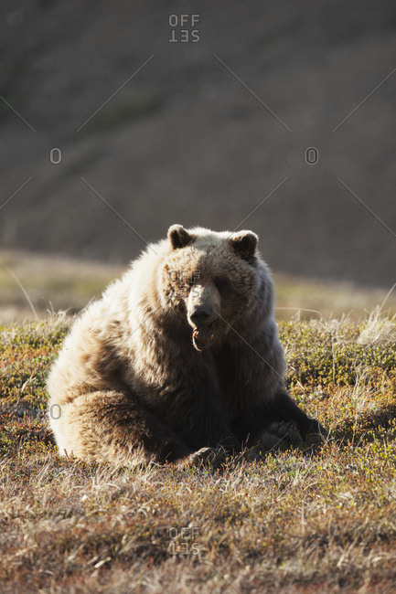 June 11, 2013: Grizzly Bear Yawning And Resting Near Park Road. Denali National Park & Preserve. Interior Alaska.