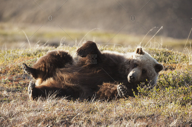 June 11, 2013: Grizzly Bear Rolling On Ground In Denali National Park & Preserve In Interior Alaska.
