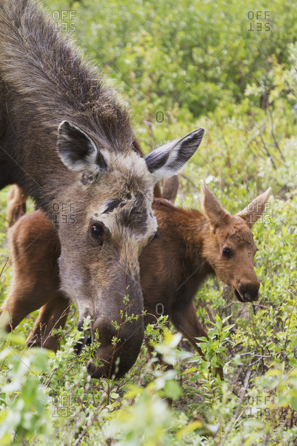 June 11, 2013: Moose Cow Shown With One Of Her Two Calves Feeding With Her. Healy, Interior Alaska. Spring.