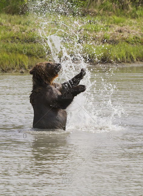 June 4, 2013: Captive Bear Playing In The Water At The Alaska Wildlife Conservation Center In Portage, South-central Alaska.