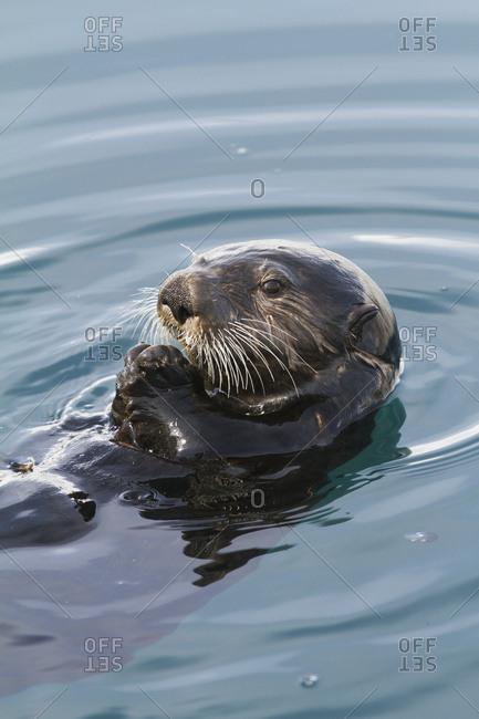 April 15, 2013: Sea Otter Floating In South-central Alaska.