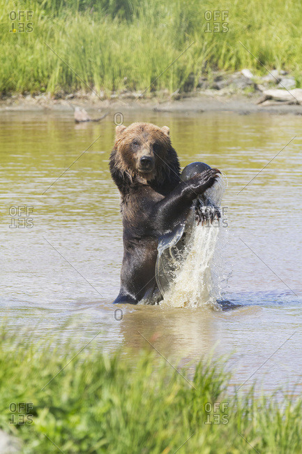 October 4, 2013: Captive Mature Grizzly Bear Plays With A Ball In The Water At The Alaska Wildlife Conservation Center In Portage, South-central Alaska. Summer.