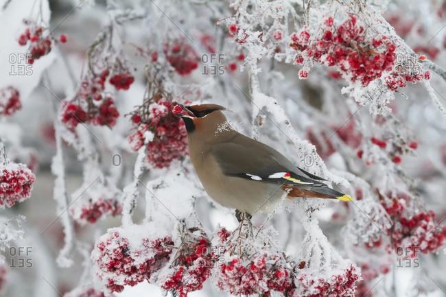 December 27, 2013: Bohemian Waxwing Feeding On Mountain Ash Berries. Anchorage, Alaska. Winter. South-central Alaska.
