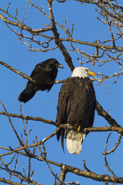 November 30, 2013: A Bald Eagle And Raven Sit Next To Each Other In A Tree In The Portage Valley. South-central Alaska. Autumn.