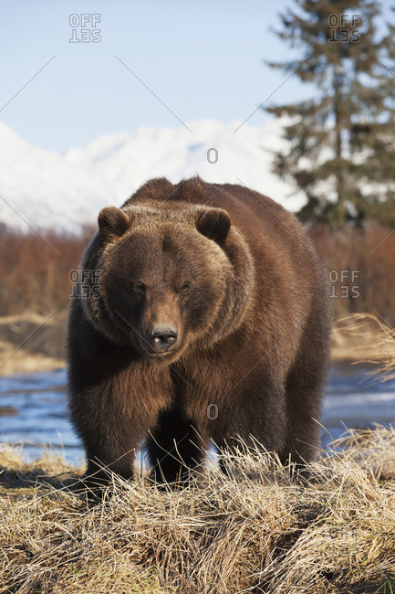 January 25, 2014: Captive Mature Adult Brown Bear At The Alaska Wildlife Conservation Center In Portage In South-central Alaska. Winter.