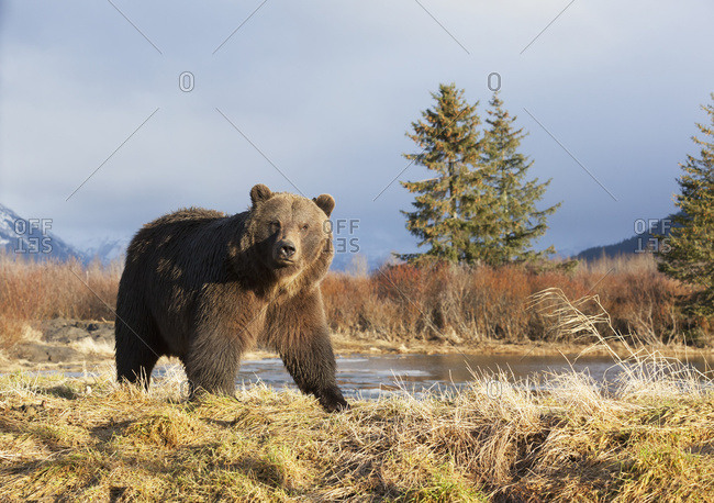 January 28, 2014: Captive Mature Adult Brown Bear At The Alaska Wildlife Conservation Center In Portage In South-central Alaska. Winter.