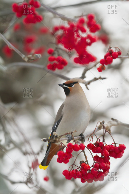 December 12, 2013: Bohemian Waxwing In Mountain Ash Tree, Anchorage, South-central Alaska. Winter.