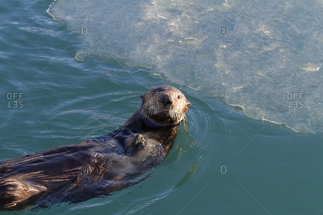 February 5, 2014: Sea Otter Floating On Back In Whittier Small Boat Harbor, South-central Alaska, Winter.