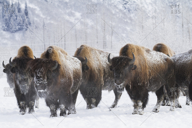 February 16, 2014: Captive Herd Of Bison At The Alaska Wildlife Conservation Center In Portage In South-central Alaska. Winter.