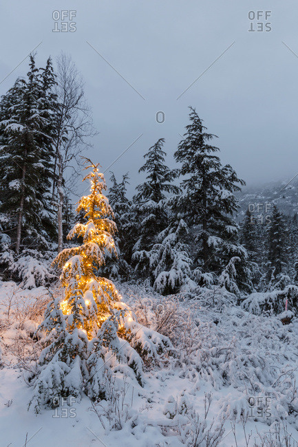 January 24, 2015: A Festive Mountain Hemlock Evergreen Tree Strung With White Lights And Covered In Snow In A Wintery Landscape, Kenai Mountains; Moose Pass, Alaska, United States Of America