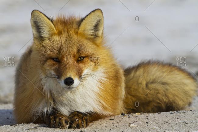 May 16, 2016: Red Fox (Vulpes Vulpes) Resting On Melting Snow On Arctic Tundra, Early Spring, Arctic Coastal Plain, North Slope, Northern Alaska; Alaska, United States Of America