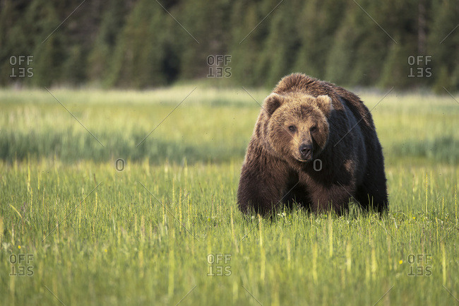 August 25, 2015: Brown Bear (Ursus Arctos) In Lake Clark National Park; Alaska, United States Of America