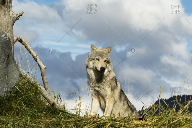 September 18, 2015: Female Gray Wolf (Canis Lupus), Captive, Alaska Wildlife Conservation Center; Portage, Alaska, United States Of America