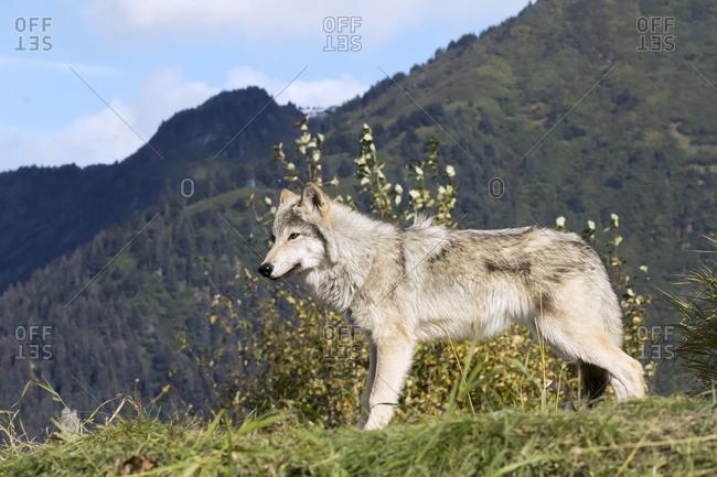 September 18, 2015: Female Gray Wolf (Canis Lupus), Captive, Alaska Wildlife Conservation Center; Portage, Alaska, United States Of America