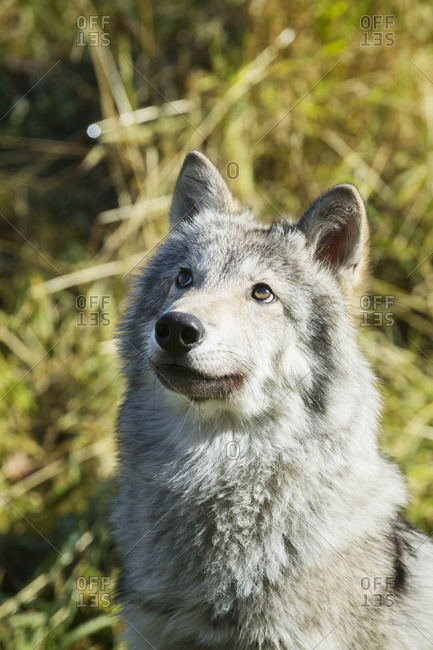 September 20, 2015: Portrait Of A Female Gray Wolf (Canis Lupus) Looking Up, Captive, Alaska Wildlife Conservation Center; Portage, Alaska, United States Of America