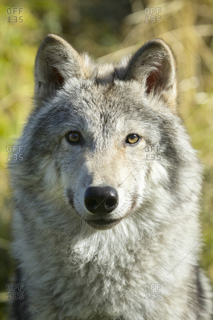 September 20, 2015: Portrait Of A Female Gray Wolf (Canis Lupus), Captive, Alaska Wildlife Conservation Center; Portage, Alaska, United States Of America
