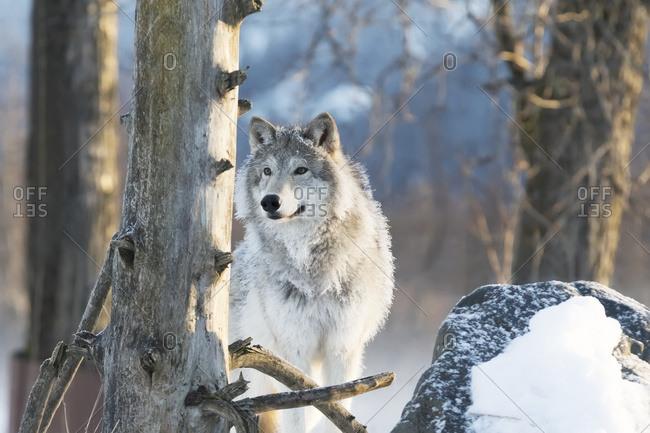 December 20, 2015: Female Gray Wolf (Canis Lupus), Captive, Alaska Wildlife Conservation Center; Portage, Alaska, United States Of America