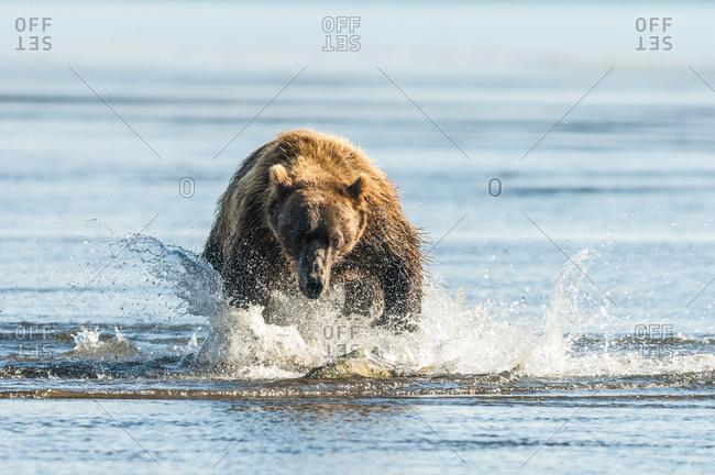 August 11, 2010: Brown Bear (Ursus Arctos) Chasing Fish, Katmai National Park; Alaska, United States Of America