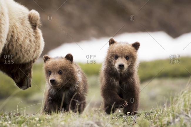 June 8, 2016: Grizzly Cubs With Mother Near The Park Road In Spring, Denali National Park, Interior Alaska, USA