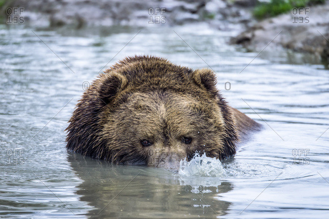 October 31, 2015: Brown Bear (Ursus Arctos) Blowing Bubbles In Pond, Olympic Game Farm; Sequim, Washington, United States Of America