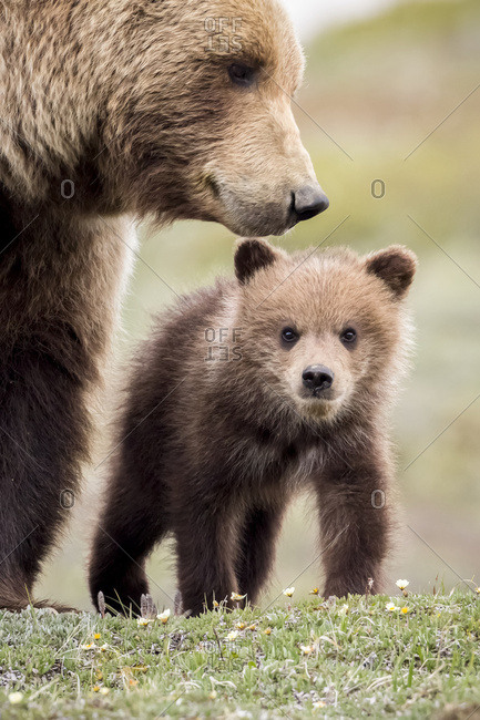 June 8, 2016: Grizzly Cub With Mother Near The Park Road In Spring, Denali National Park, Interior Alaska, USA
