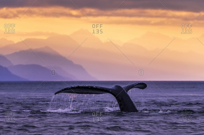 July 31, 2016: Humpback Whale (Megaptera Novaeangliae) At Sunset, Lynn Canal, Chilkat Mountains, Inside Passage, Near Juneau; Alaska, United States Of America