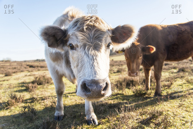 Two curious cows looking closely at the camera in the New Forest National Park in Hampshire, UK.