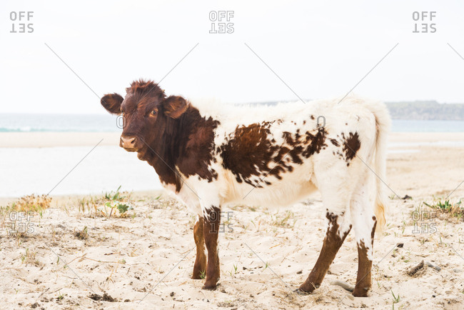 A brown and white coloured calf standing and looking straight at the camera in Bolonia, Spain.