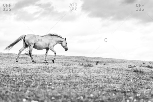 A black and white image of a white coloured horse walking on the grass in the New Forest National Park in Hampshire UK.