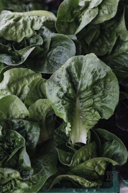 Organic lettuce at a farmer's market