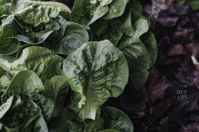 Organic lettuce at market