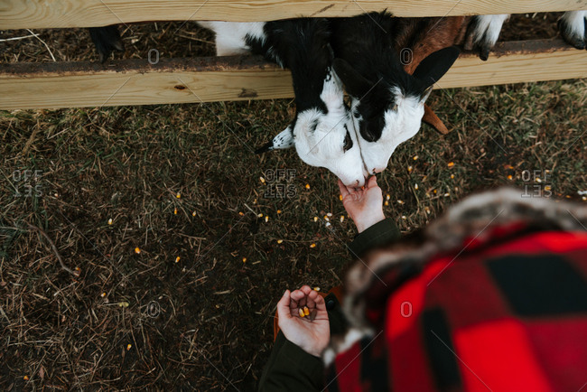 Overhead view of boy feeding goats