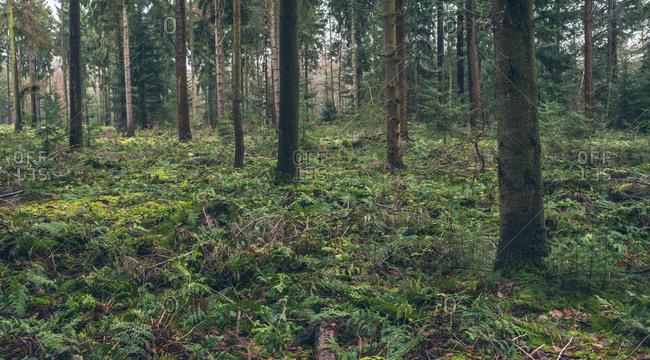 Vegetation on ground of pine forest