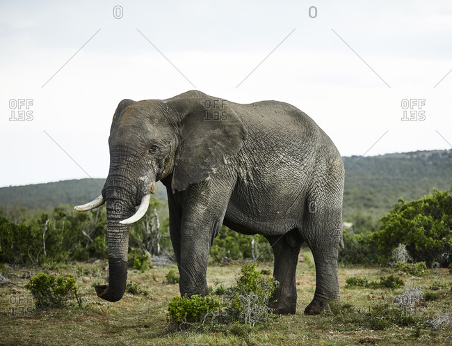 South Africa- Eastern- Cape- Addo Elephant National Park- african elephant- Loxodonta Africana