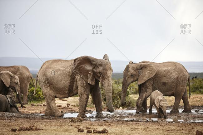 South Africa- Eastern- Cape- Addo Elephant National Park- african elephants- Loxodonta Africana