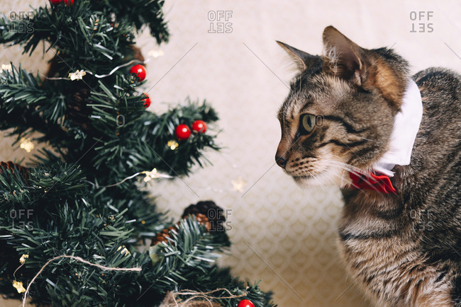 Tabby cat with collar and red bow tie at Christmas time
