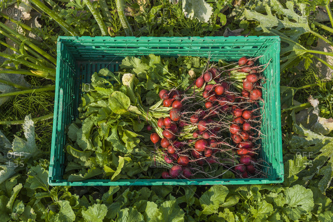 Harvested red radish in a box
