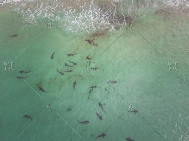Aerial view of small sharks in the pacific ocean on San Diego coast, USA.