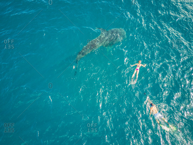 Aerial view of people swimming with the Whale sharks on Mafia Island, Tanzania.