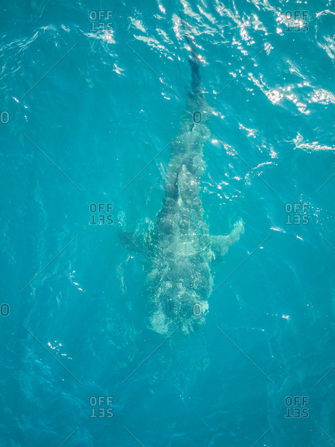 Aerial view of a Whale sharks on Mafia Island, Tanzania.