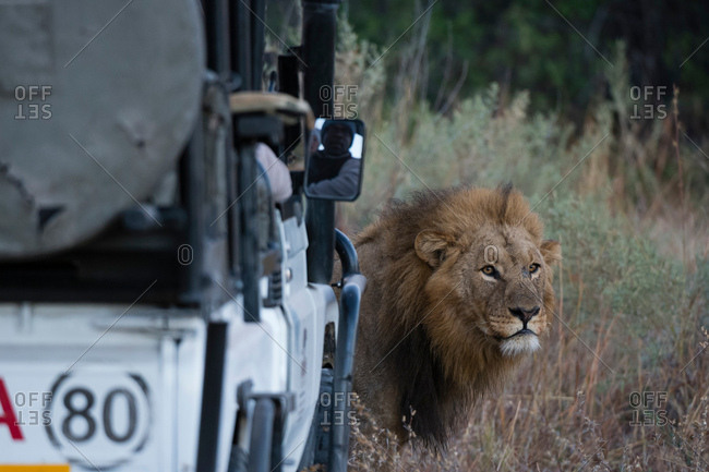 Okavango Delta, Botswana - July 20, 2017: Male lion (Panthera leo) in front of safari vehicle