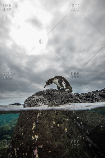 Galapagos Penguin resting on rocks, Seymour, Galapagos, Ecuador