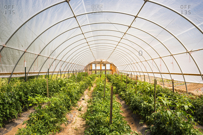 Rows of plants in green house, Montana, US