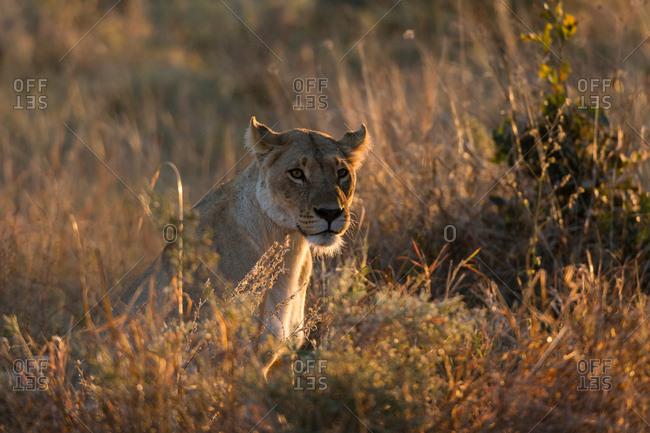 Lioness (Panthera leo) resting in grassland, Khwai Conservation Area, Okavango Delta, Botswana