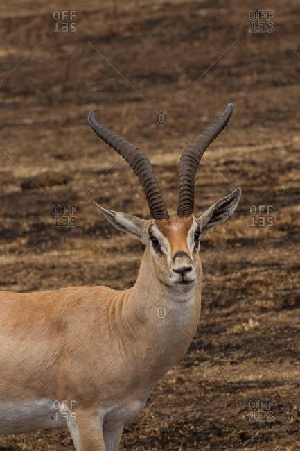 Thomson's Gazelle, Eudorcus thomsonii, Ngorogoro Crater, Tanzania