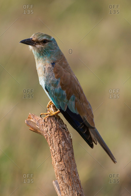 European roller (Coracias garrulus) perched on a tree, Tsavo, Kenya, Africa