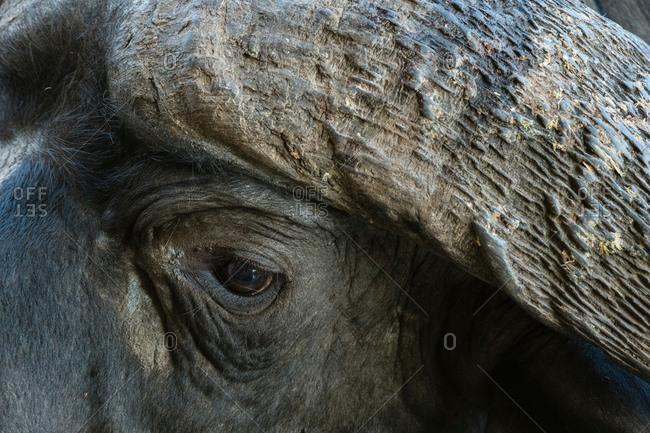 African buffalo (Syncerus caffer), close-up, Tsavo, Kenya, Africa